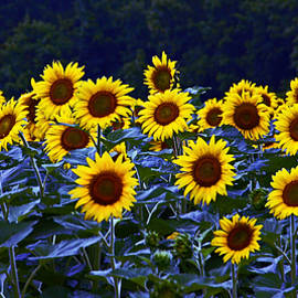 Suzanne Stout - Field of Sunflowers Panoramic