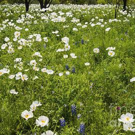 Bob Phillips - Field of White Poppies
