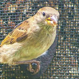 Robert Edgar - Field Sparrow