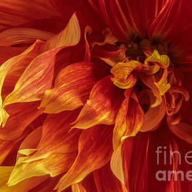Chris Scroggins - Fiery Dahlia