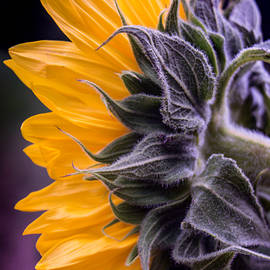 Arlene Carmel - Filtered Sunflower