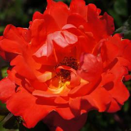 Helene Fallstrom - Fire flame rose