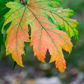Tracy  Hall - Fire Leaf