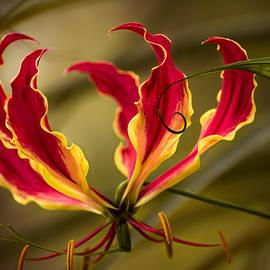Zina Stromberg - Fire lily