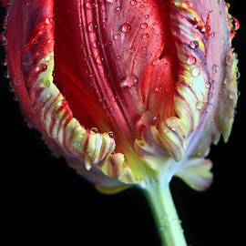 Tracy  Hall - Fire Tulip