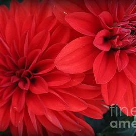 Photographic Art and Design by Dora Sofia Caputo - Flamenco Red Dahlias