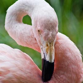 Cherie Taylor - Flamingo