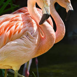 Jamie Pham - Flamingo Pair