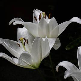 John Haldane - Floating Easter Lilies