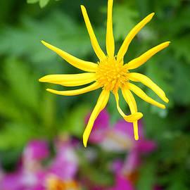 Glenn Morimoto - Floating yellow star burst flower