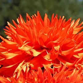 Baslee Troutman Floral Fine Art Prints - Floral Orange Dahlia Flowers Art Prints