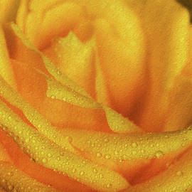 Shelley Neff - Floral Yellow Rose Blossom
