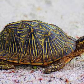 Patti Whitten - Florida Box Turtle