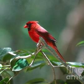 Carol Groenen - Florida Cardinal
