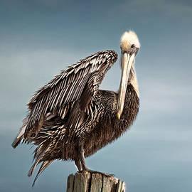 Kim Hojnacki - Florida Pelican Posing