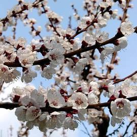 Will Borden - Flowering Apricot Tree
