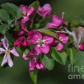 John Roberts - Flowering Crabapple