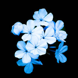 Liang Li - Flowers