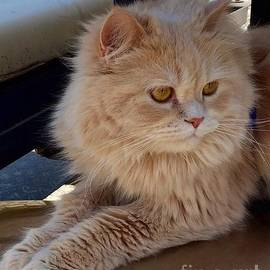 Anne Sands - Fluffy Persian Kitty