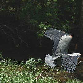Rick Friedle - Flying Blue Heron