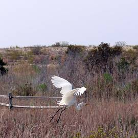 Terrie Stickle - Flying Egret