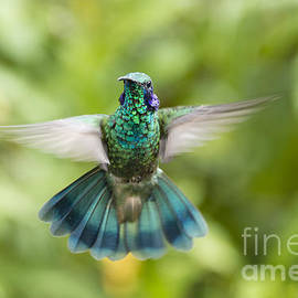 Oscar Gutierrez - Flying Green violetear hummingbird