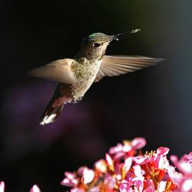 Juergen Roth - Flying Hummingbird