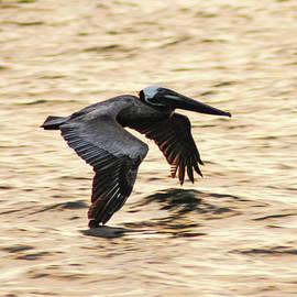 Bill Cannon - Flying Pelican at Dawn
