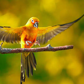 Robert Gaines - Flying Sun Conure landing