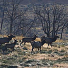 Mark Kiver - Follow the Leader - Elk in Rut