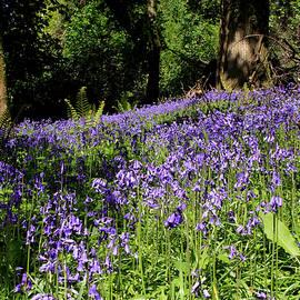 Aidan Moran - Forest Of Bluebells
