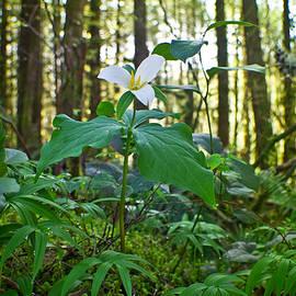 Adria Trail - Forest Trillium