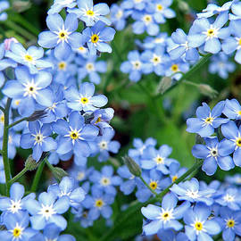 Jean Hall - Forget-Me-Nots
