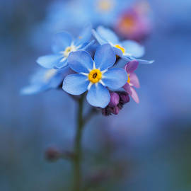Maria Meester - Forgetmenot