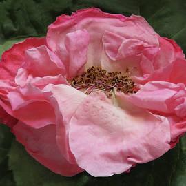 Ana Dawani - Forgotten rose
