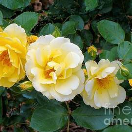 Janette Boyd - Four Yellow Roses