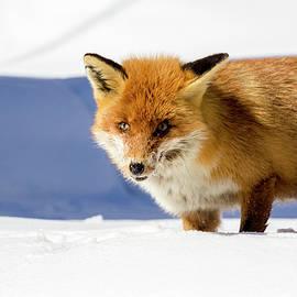 Pietro Ebner - Fox in the snow