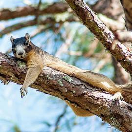 Norman Johnson - Fox Squirrel