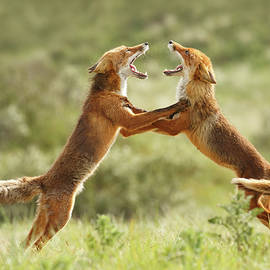 Fox Trot - Red Foxes fighting