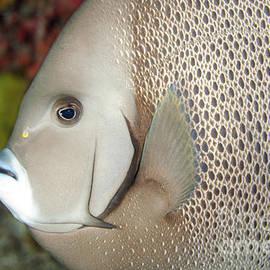 Anthony Totah - French angelfish - Pomacanthus paru