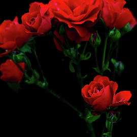 George Westermak - Fresh red roses on a black background