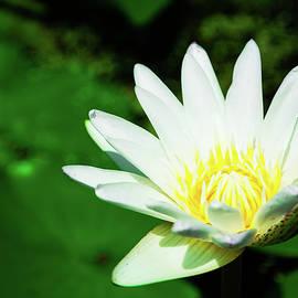 Nadezhda Tikhaia - Freshness. Beautiful White Lilac Lotus.