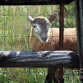 Nava Thompson - Friendly Lamb