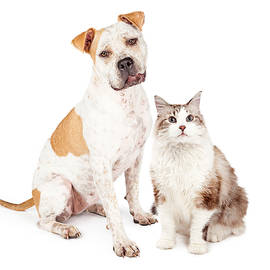 Friendly Pit Bull Dog and Pretty Cat - Susan Schmitz