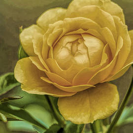 Geraldine Scull - Friendship Rose