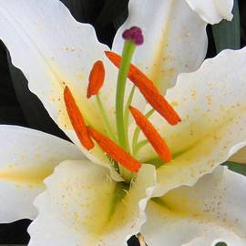 Honey Behrens - Frilly Lily