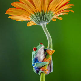 Denise Saldana - Frog on Gerbera