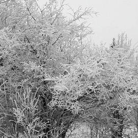 Sandra Foster - Frost Coated Trees