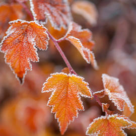 Jenny Rainbow - Frost on Orange Autumn Leaves