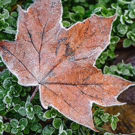 Jenny Rainbow - Frosted Maple Leaf